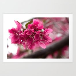 Droplets on Dark Pink Crabapple Blossoms Art Print