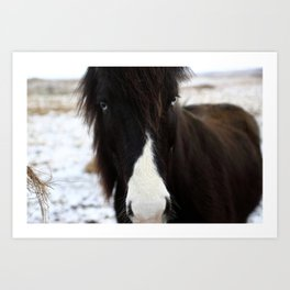 Blue Eye Icelandic Horse Art Print