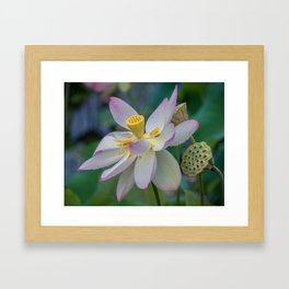 Raindrops on Lotus Framed Art Print