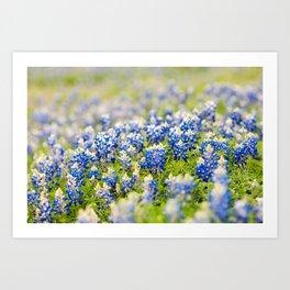 Bluebonnets  Art Print
