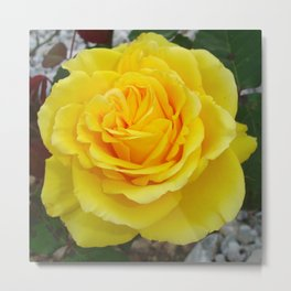 Head On View Of A Yellow Rose With Garden Background Metal Print