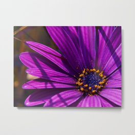 Purple African Daisy Close Up Metal Print