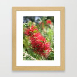 Calliandra Haematocephala Red Powderpuff  Framed Art Print