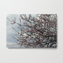 Almond tree blossom Metal Print