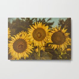 A trio of sunflowers Metal Print