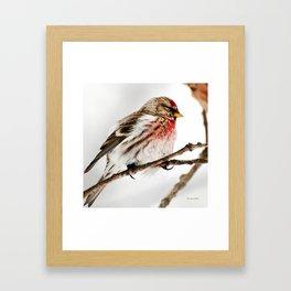 Common Redpoll Bird Framed Art Print