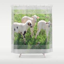 Three Cute Spring Lambs Shower Curtain