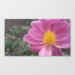 Pink and Polleny Peony Canvas Print