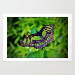 Green And Black Butterfly Art Print