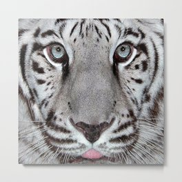 White Tiger with a little tougue Metal Print