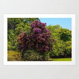 Photo USA Bougainvillea arborea Fairchild Tropical Botanic Garden Nature park Gardens Trees Parks veranera buganvilla bugambilia Art Print