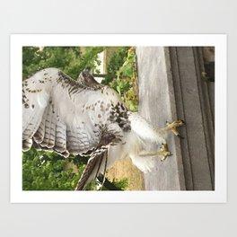 Red Tailed Hawk Takes Flight Art Print