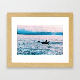 Orcas Swimming Through the Evening Framed Art Print