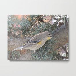 Audubon's Warbler on a Spruce Branch Metal Print