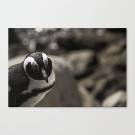 South African Penguin Canvas Print