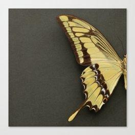 King Swallowtail Butterfly demi. Canvas Print