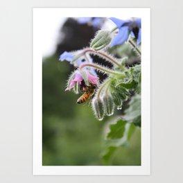 Honeybee, Borage & Raindrops Art Print