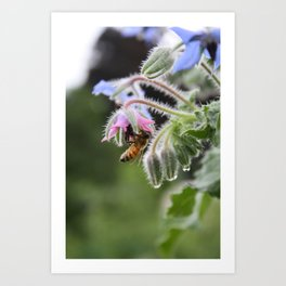 Honeybee, Borage & Raindrops Art Print