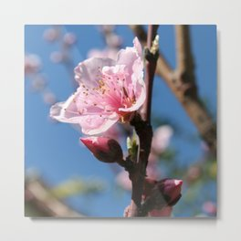 Delicate Buds of Peach Tree Blossom Metal Print