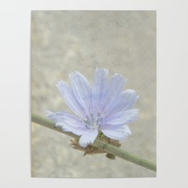 cichorium  Poster