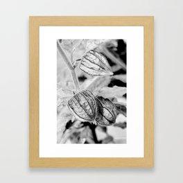 Physalis angulata Framed Art Print