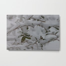 Snow laden rosebush Metal Print