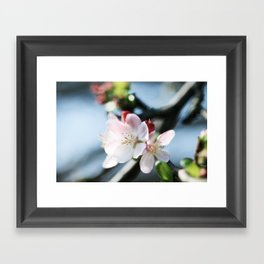 cherry blossoms 2 Framed Art Print