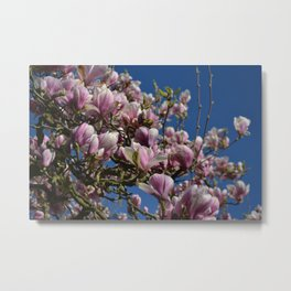 Beautiful Magnolia - pink white flower Metal Print