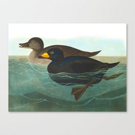 Scoter Duck Vintage Scientific Bird & Botanical Illustration Canvas Print