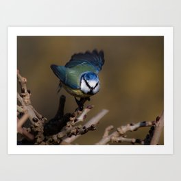 Blue tit about to fly off Art Print