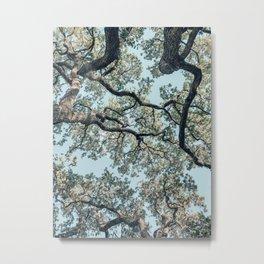 Oaks from below, Austin, Texas Metal Print