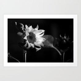 Black and White Sunflower Photo Art Print