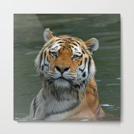 Tiger_2015_0622 Metal Print