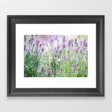 Lavender in summer garden Framed Art Print