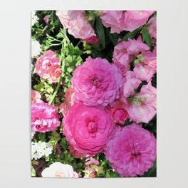 Vibrant Pink Chrysanthemums Poster