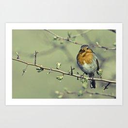 Robin Redbreast Art Print