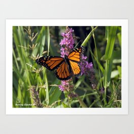 Monarch Splendor Art Print