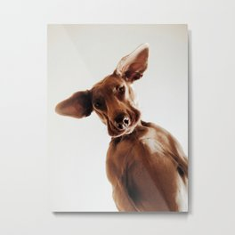 Weimaraner Flappy Ears Metal Print