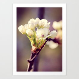Pear Tree Blooming Art Print
