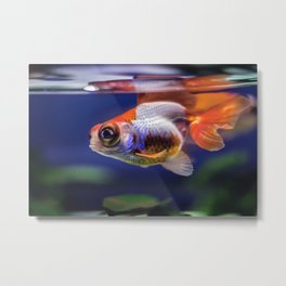 Art Aquarium  Metal Print