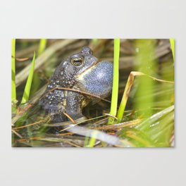 Toad with bulging throat Canvas Print