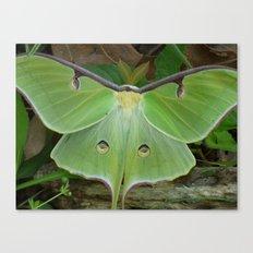 luna moth 2017 III Canvas Print