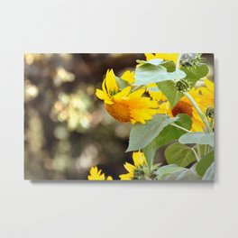 SUNFLOWER IN THE LATE AFTERNOON SUNLIGHT GLOW Metal Print