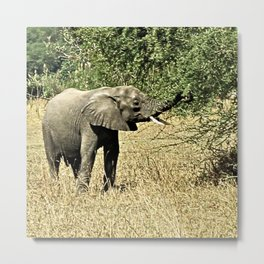 Little African Elephant Acacia Tree Safari Africa Metal Print
