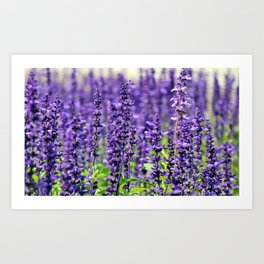 Lavender field digital painting for fine country house decoration Art Print