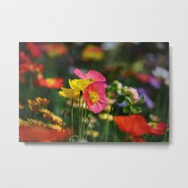 Frivolous Blooming Coral, Red and Yellow Anemones in Spring Metal Print