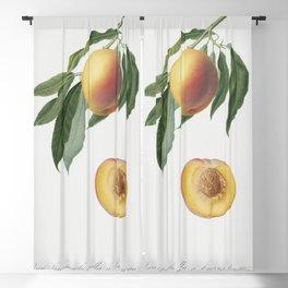 Peach (Persica Iulodermis) from Pomona Italiana (1817 - 1839) by Giorgio Gallesio (1772-1839) Blackout Curtain
