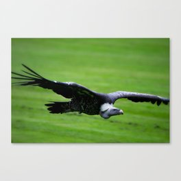 Great vulture in flight Canvas Print