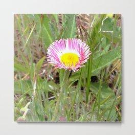 Watercolor Flower, Fleabane 04, RMNP, Colorado, Pink and White Candy Stripes Metal Print