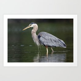 Pacific Great Blue Heron | Birds | Nature | Wildlife Photography Art Print